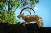 One male goat animal with big horns  — Stock Photo