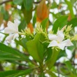 Постер, плакат: Cerbera manghas tropical evergreen poisonous tree