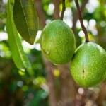 ������, ������: Cerbera manghas tropical evergreen poisonous tree fruits