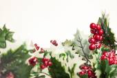 European holly on white background — Stock Photo