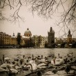 A lot of swans near Charles bridge in Prague — Stock Photo #57139559