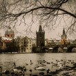 A lot of swans near Charles bridge in Prague — Stock Photo #57139567
