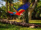 Kolorowe papugi latające w tropikalnej scenerii — Zdjęcie stockowe