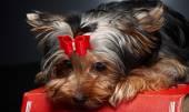 Cute little yorkie dog. — Stock Photo