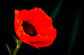 Beautiful wild-growing red poppy — ストック写真