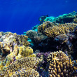 Red sea underwater coral reef — Stock Photo #69099639