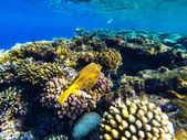 Red sea underwater coral reef — Stock Photo