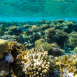 Red sea underwater coral reef — Stock Photo #72554711