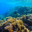 Red sea underwater coral reef — Stock Photo #72554765