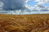 Summer sunny Landscape with  grain field in Russia. — Stock Photo