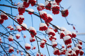 Snowy mountain ash — Stock Photo