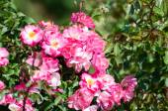 Roses. Nikita Botanical Garden. Crimea, Yalta. — Stock Photo