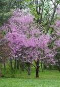 Blooming pink tree — Stock Photo