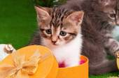 Gatinho bonitinho — Fotografia Stock