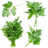 Set of fresh parsley — Stock Photo
