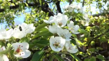 Pear flowers — Stock Video