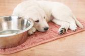Labrador retriever puppy — Foto de Stock