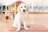 Labrador retriever köpek yavrusu — Stok fotoğraf