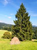 A stack of a hay under the spruce tree — Stock Photo