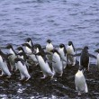 Flock of Adelie penguins — Foto de Stock   #55226899