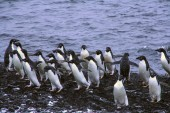 Flock of Adelie penguins — Stock Photo