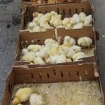 Baby chicks — Stock Photo #57782611
