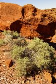 Prickly shrub and red sandstone — 图库照片