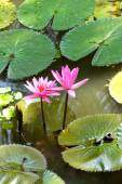 Fuschia water lilies  — Stock Photo