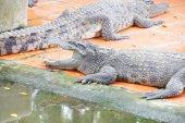 Juvenile crocodile with gaping jaws — Stockfoto