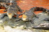 Adult crocodile with gaping jaws — Stock Photo