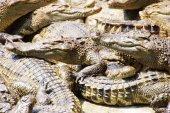 Adult crocodiles at rest — 图库照片