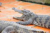 Juvenile crocodile with gaping jaws — Stock Photo
