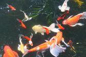 锦鲤游泳 — 图库照片