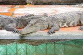 Несовершеннолетних крокодилов в состоянии покоя — Стоковое фото