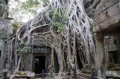 Huge tree roots engulf the ruined temple — Stock Photo