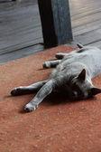 Purebred Burmese cat — Stock Photo