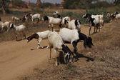 Herd of goats grazing — Stock Photo