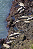Harbor seals hauled out — Stock Photo