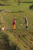 Women tend their crops — Stock Photo