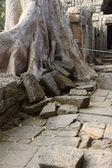 Stone terrace engulfed by huge tree — Stock Photo