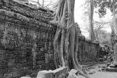 Tree roots overwhelm ancient temple — Stock Photo