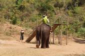 Mahout and  his elephant return — Stock Photo