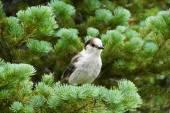 Camprobber - the Gray Jay — Stock Photo