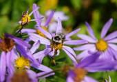 Ape che raccoglie polline su Astro alpino — Foto Stock
