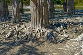 Bald cypress — Stock Photo