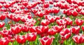 çayır çiçek açan, kırmızı laleler — Stok fotoğraf