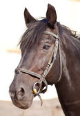 Clouse-up horse — Stockfoto