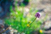 Alium cepa květ — Stock fotografie