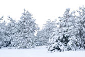 Snow-covered spruce.  — Stock Photo