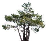 Mountain spruce tree — Stock Photo